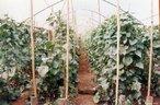 Produção agrícola do MST - Fazenda Santa Clara - Foto Douglas Mansur 21/07/2006 <br/> <br/> Palavras-chave: direito, cidadania, movimentos sociais, MST, latifúndio, arte, engajamento social.